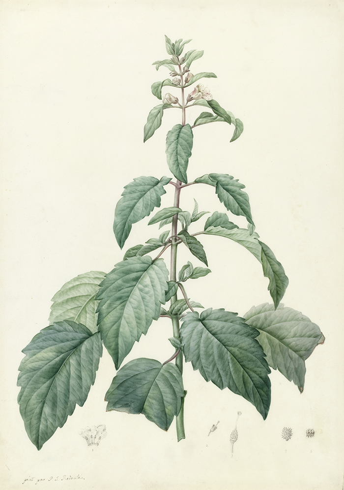Botanical watercolour of josephina imperatricis, set against a pale cream background. The plant is a narrow pyramid in shape, with large, serrated leaves spreading out from a central stem, growing smaller toward the top. The stem is topped with a bloom of small white flowers.