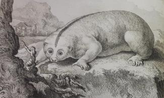 The Bengal slow loris, a small Asian primate related to lemurs, from Buffon's Histoire naturelle (1789)