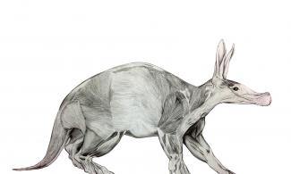 Drawing of a Flayed aardvark by Jonathan Kingdon.