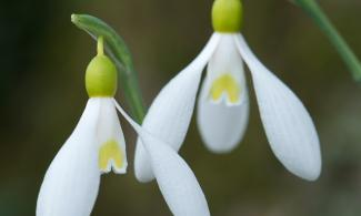 Snowdrop walking trail