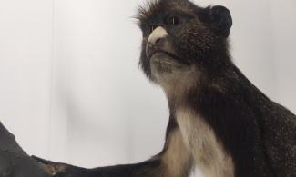Putty-nosed monkey