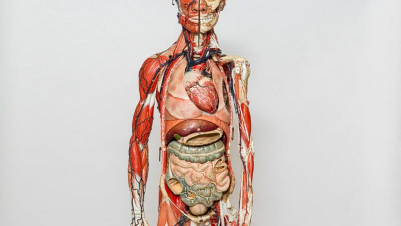 Papier-mâché anatomical model of a human, c. 1890