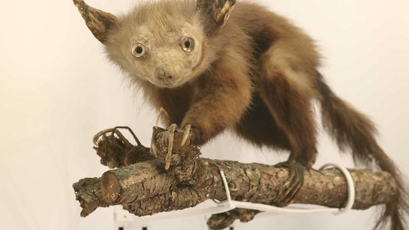 Stuffed Aye-aye, which is a type of lemur